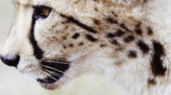Face of the very rare King Cheetah licking it's face and walking away Stock Footage