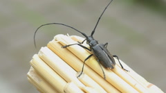Great capricorn beetle (Cerambyx cerdo Stock Footage
