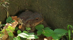 Close up macro shot of Common Toad in wild birch forest sitting on the ground Stock Footage
