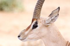 Cervicapra (bohor reedbuck), antelope of central Africa. Stock Photos