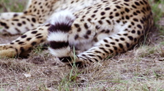 Flicking Cheetah tail to the face of a young Cheetah lying in the grass Stock Footage