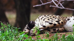 Super slow motion pan of a Cheetah from tail to head Stock Footage