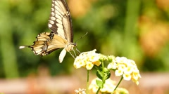 Beautiful Butterfly - Old World swallowtail Stock Footage
