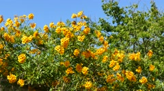 Beautiful yellow trumpetbush with blue sky at afternoon Stock Footage