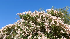 Beautiful pink flower tree Stock Footage