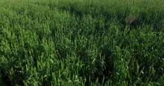 Young wheat sprouts Stock Footage
