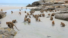 Monkey flock on sea beach Stock Footage