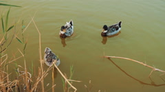 Three ducks swimming in a pond Stock Footage