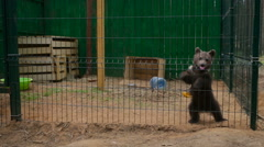 Little bear in a cage costs on two legs - stock footage