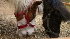 Two small ponies eating hay Stock Footage