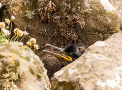 Cormorant guarding nest on the ilsand of Lunga, Inner Hebrides, Scotland, UK Stock Photos