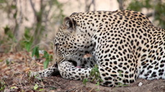 Close up of a Leopard cleaning itself and growling Stock Footage