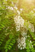 White acacia flowers Stock Photos