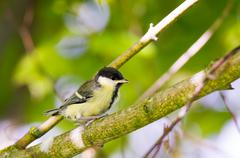 Young great tit bird sitting on a tree branch Stock Photos