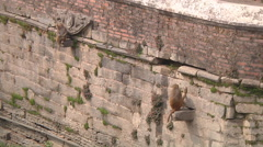 Monkeys in Pashupatinath Temple Stock Footage