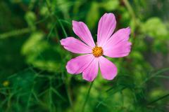 Mexican Aster pink flower or Garden Cosmos, closeup outdoors - stock photo