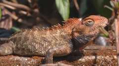 Close up of Lizard Stock Footage