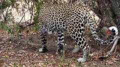 Male Leopard lies down below a tree cleaning itself Stock Footage