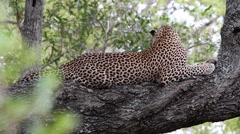 Leopard gets up and walks along the tree branches Stock Footage
