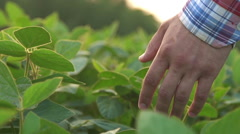 Green leaves of soy bean in hand - stock footage