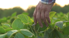 Green leaves of soy bean in hand Stock Footage