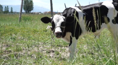 Little cow grazing on pasture Stock Footage