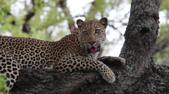 Leopard lying on a thick branch in a tree Stock Footage