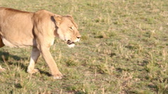 African Lioness Ambles Along At Sunset - Slow Motion Stock Footage