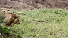 Big Lion Ambles Along During Midday Heat - Slow Motion Stock Footage