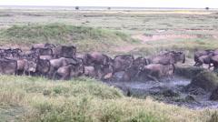 Wildebeest Herd Jumps Muddy River - Slow Motion Stock Footage
