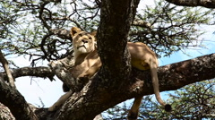 African Lioness Rests In Acacia Tree on Serengeti - Big Yawn - Slow Motion - stock footage