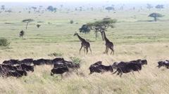 Wildebeest Herd Runs in Foreground, Giraffes In Background - Slow Motion Stock Footage