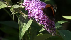 Butterfly Admiral on lilac liftoff Stock Footage