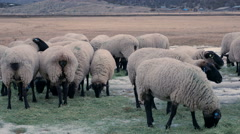 Suffolk sheep graze on hay with light snow on the ground Stock Footage