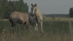 White and brown horse grazing on a green meadow Stock Footage