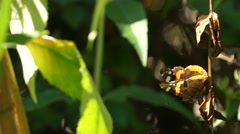 Butterfly Admiral sitting vertically Stock Footage