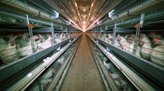 Poultry Farming, Tavuk Çiftliği Stock Footage