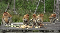 4k Proboscis Monkey (Nasalis larvatus) endemic  of Borneo. Stock Footage