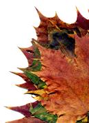Boquet Fall Maple Leaves Stock Photos