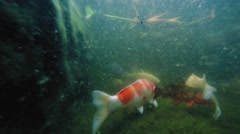 Underwater shot of many Koi fish swim in pond Stock Footage