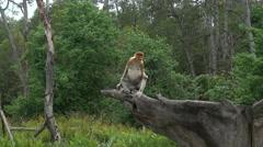 4k Proboscis Monkey (Nasalis larvatus) endemic  of Borneo. Stock Footage
