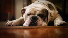 Tired Olde English Bulldog - stock footage