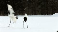 Japanese Cranes Stock Footage