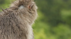 Japanese Macaque (Snow Monkey) Stock Footage