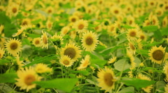 Sunflower Background Stock Footage
