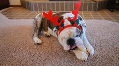 Christmas Bulldog Stock Footage