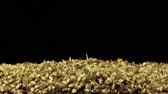 Wheatgrass Growing Time Lapse Stock Footage