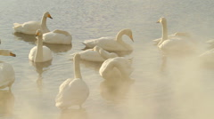 Swans in the Myst Stock Footage
