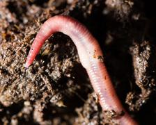 red worms in compost. macro - stock photo