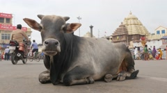 Cow sitting in middle of street,Puri,India Stock Footage